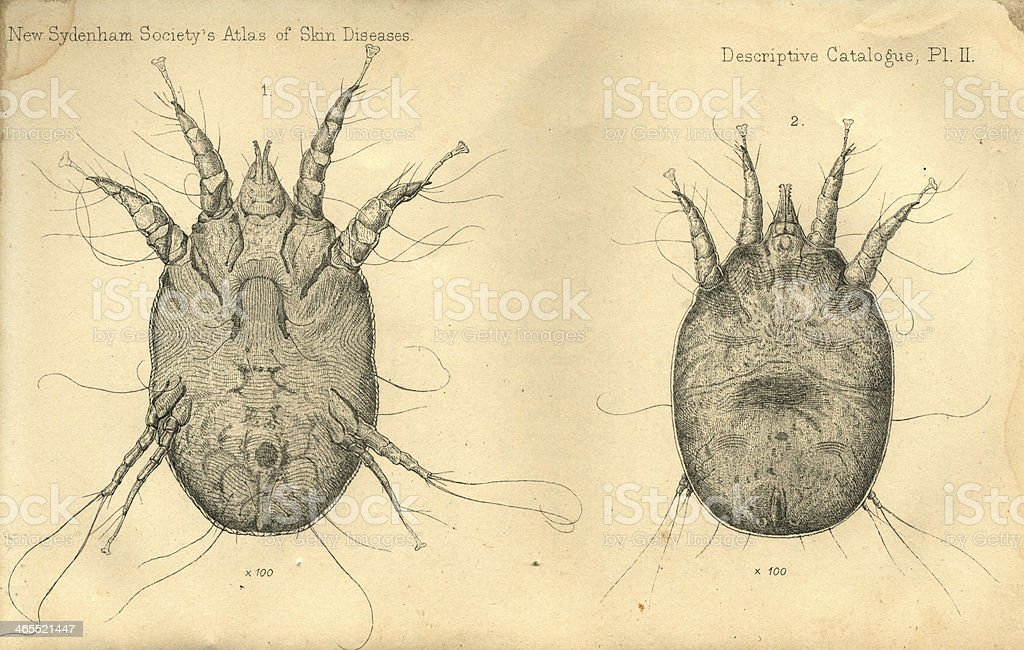 Sheep Male And Female Scab Mites Stock Vector Art & More Images of ...