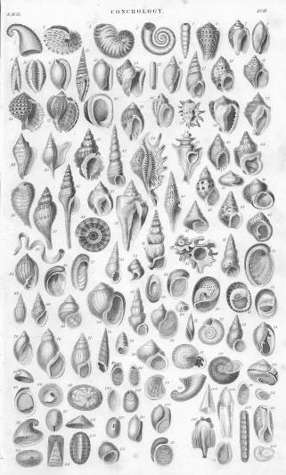 Shells old litho print form 1852