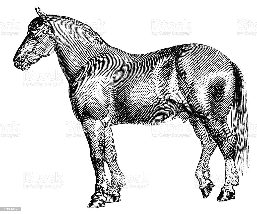 Shire Horse Stock Illustration Download Image Now Istock