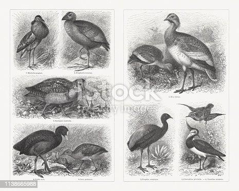 Shorebirds (Charadriiformes), left side: 1) Ruff (Calidris pugnax, or Machetes pugnax); 2) Swamphen (Porphyrio porphyrio, or Porphyrio veterum); 3) Eurasian woodcock (Scolopax rusticola); 4) Eurasian coot (Fulica atra); 5) Corn crake (Crex crex, or Crex pratensis). Right side: 1) Great bustard (Otis tarda, or Otis tetrax); 2) Grey-winged trumpeter (Psophia crepitans); 3) European golden plover (Pluvialis apricaria, or Charadrius pluvialis, top); 4) Northern lapwing (Vanellus vanellus, or Vanellus cristatus, bottom). Wood engravings, published in 1897.