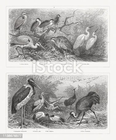 Shorebirds (Charadriiformes), top: 1) Grey heron (Ardea cinerea); 2) Black-crowned night heron (Nycticorax nycticorax, or Ardea Nycticorax); 3) Eurasian bittern (Botaurus stellaris); 4) Great egret (Ardea alba). Bottom: 1) Marabou stork (Leptoptilos crumeniferus, or Leptoptilus crumenifer); 2) White stork (Ciconia alba, top); 3) African sacred ibis (Threskiornis aethiopicus, or Ibis religiosa, bottom); 4) Eurasian crane (Grus grus, or Grus communis). Wood engravings, published in 1897.