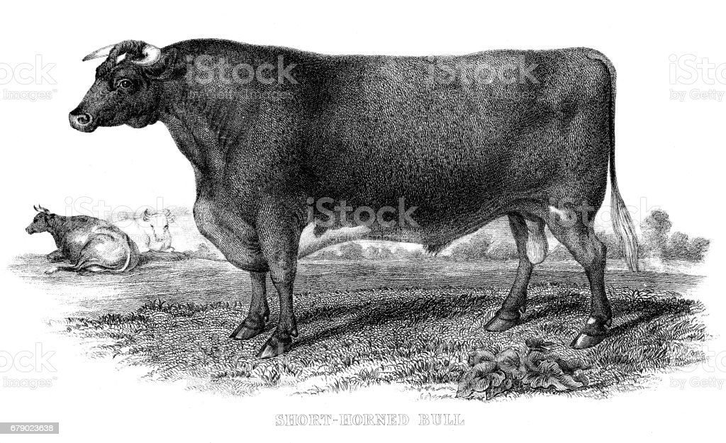Kısa boynuzlu bull 1878 oyma royalty-free kısa boynuzlu bull 1878 oyma stok vektör sanatı & abd'nin daha fazla görseli
