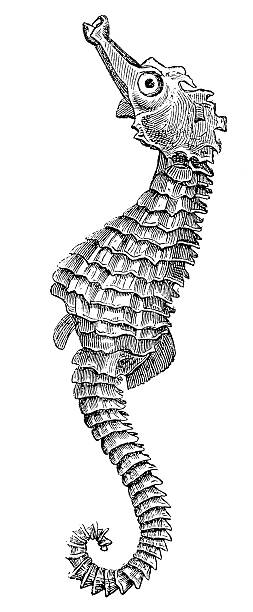 Short-snouted Seahorse (Hippocampus Hippocampus) Short-snouted Seahorse (Hippocampus Hippocampus) sea horse stock illustrations