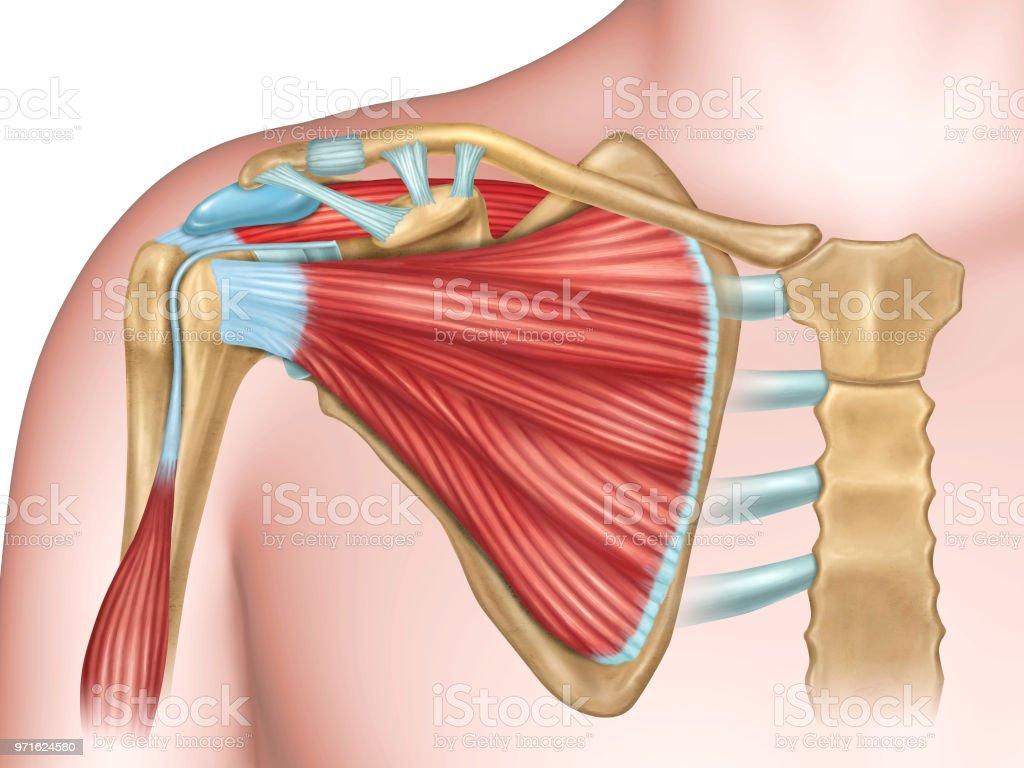 Ilustración de Huesos Del Hombro Y Los Músculos y más banco de ...