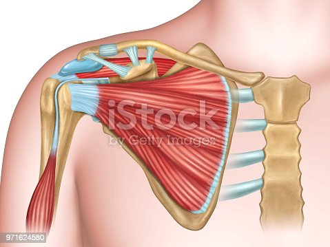 Anterior view of the shoulder anatomy. Digital illustration.