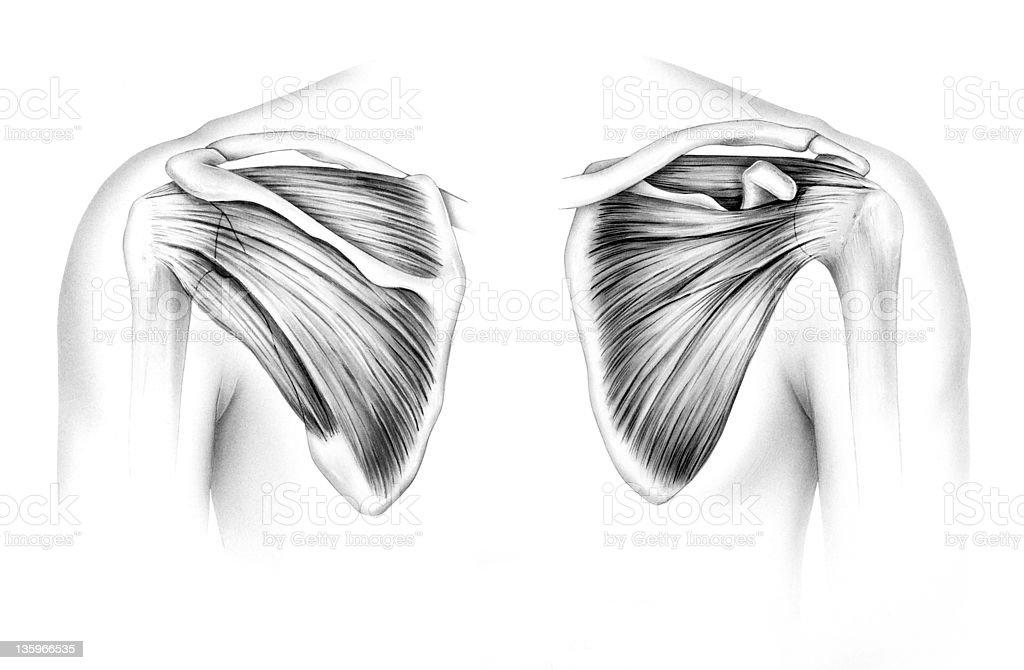 Schulter Schulterblatt Sehnen Und Muskeln Stock Vektor Art und mehr ...