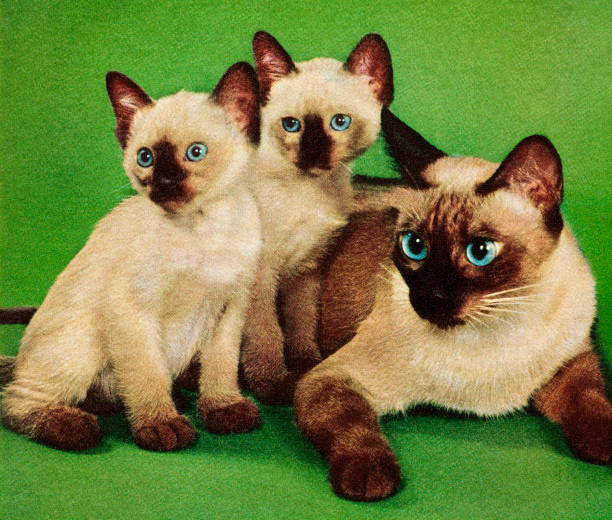 Siamese Cat and Two Kittens Siamese Cat and Two Kittens kitsch stock illustrations