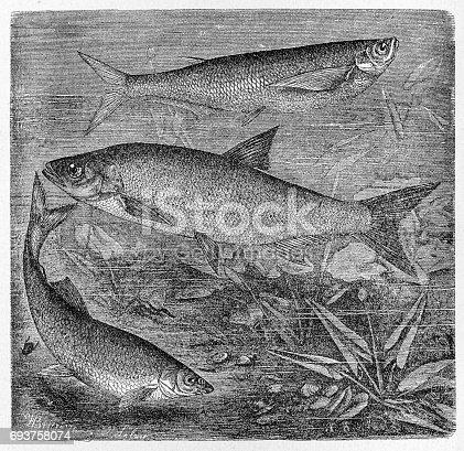 istock Sichel, asp and common nase 693758074