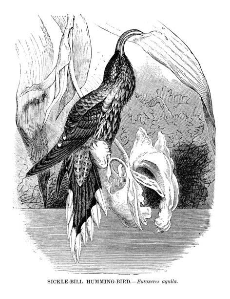 Sickle billed hummingbird vector art illustration