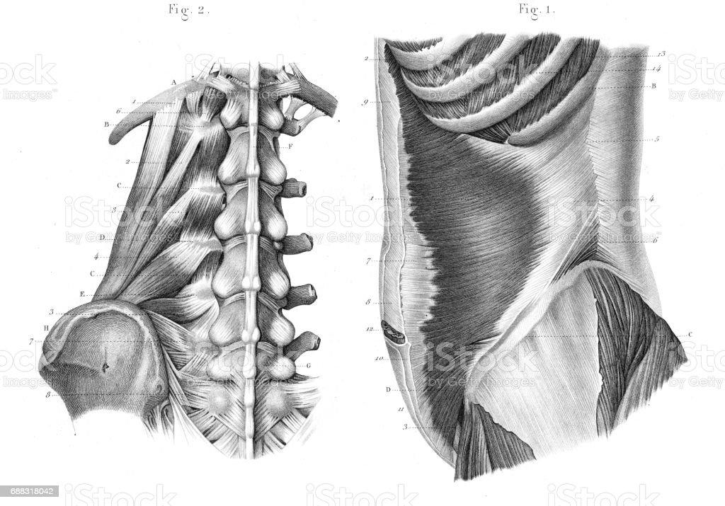 Región Lateral De La Anatomía Del Tronco Grabado 1866 - Arte ...