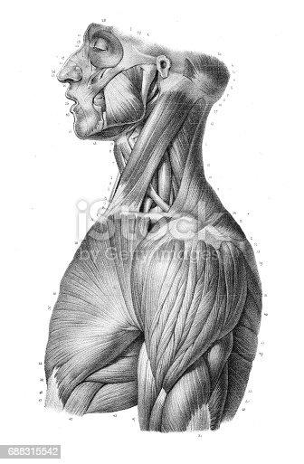 istock Side trunk anatomy engraving 1866 688315542