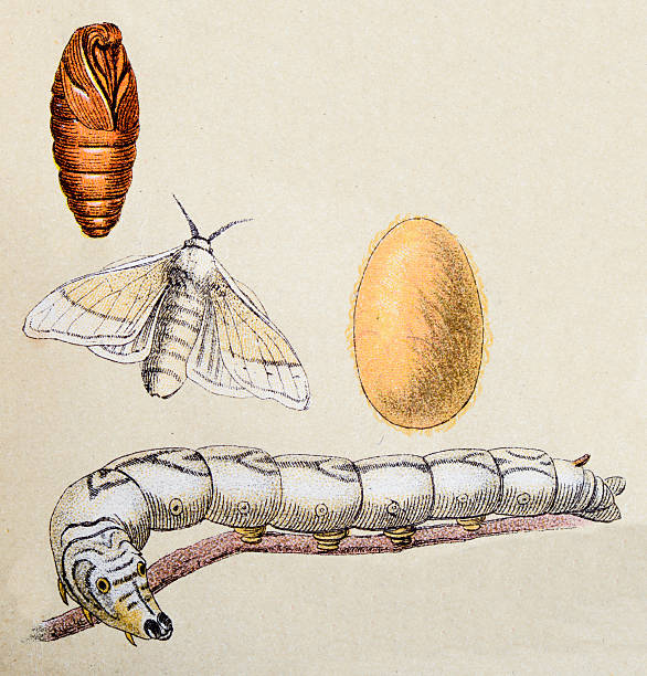 stockillustraties, clipart, cartoons en iconen met silkmoth (bombyx mori), insect animals antique illustration - zijdeworm