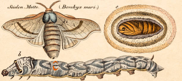 stockillustraties, clipart, cartoons en iconen met silkworm bombyx, 19 century science illustration - zijdeworm