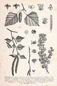 Betula pendula, commonly known as silver birch, warty birch, European white birch,[2] or East Asian white birch, is a species of tree in the family Betulaceae, native to Europe and parts of Asia\nOriginal edition from my own archives\nSource : \