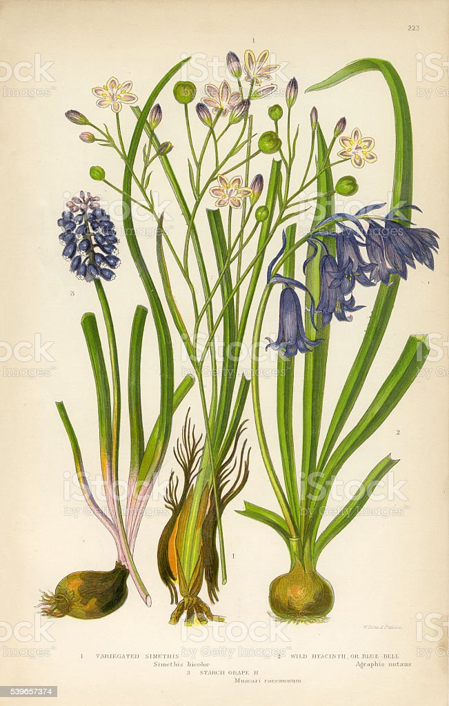 Simethis Hyacinth Blue Bell Wild Victorian Botanical Illustration Royalty Free