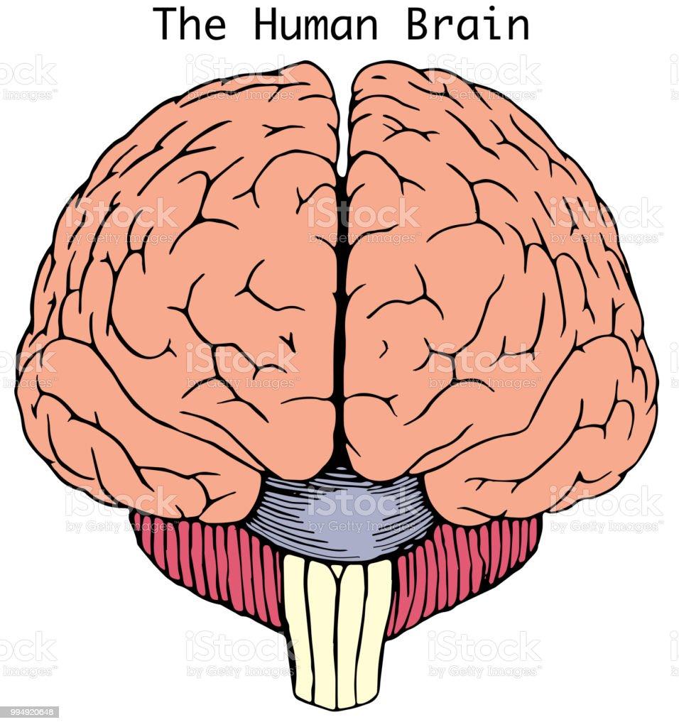 Simple Human Brain Illustration Stock Illustration