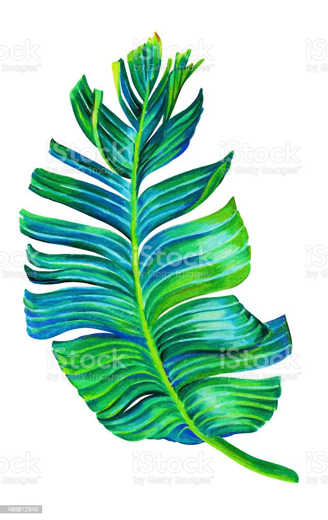 single isolated banana leaf stock vector art amp more images