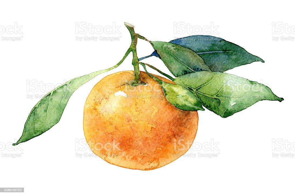 Single mandarin with leaves vector art illustration