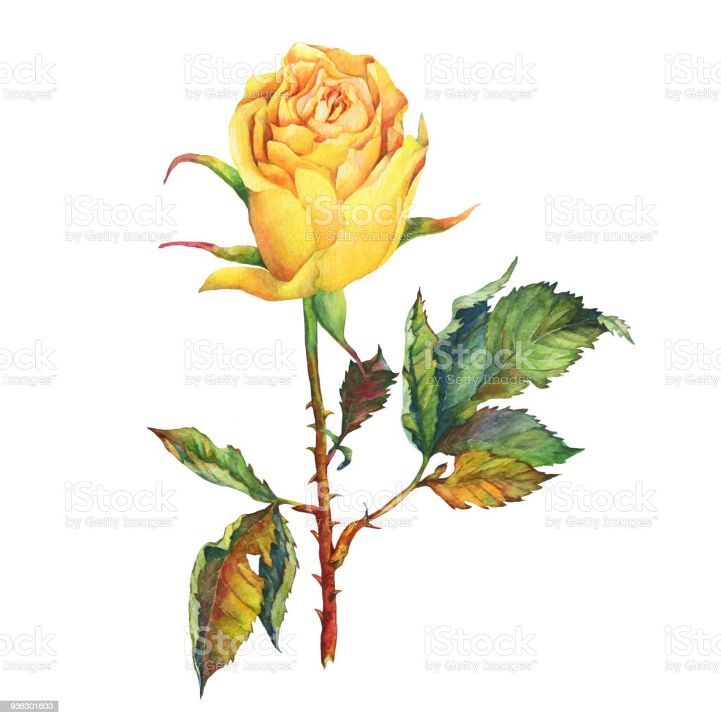 A Single Of Beautiful Golden Yellow Rose With Green Leaves Hand