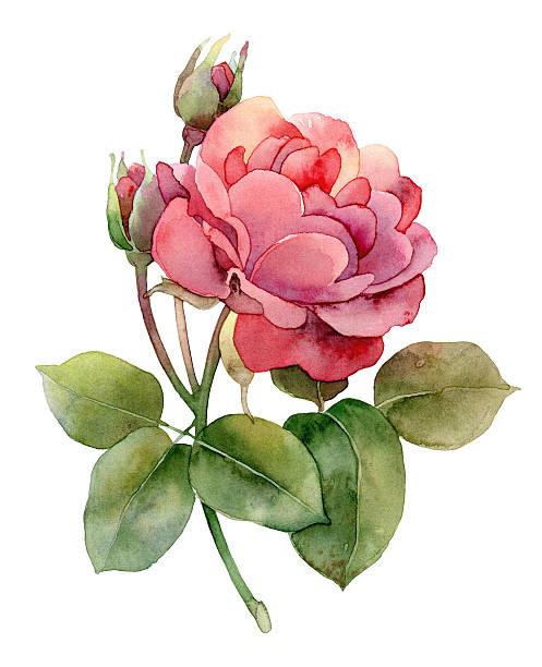 illustrazioni stock, clip art, cartoni animati e icone di tendenza di singola rosa su sfondo bianco - mika