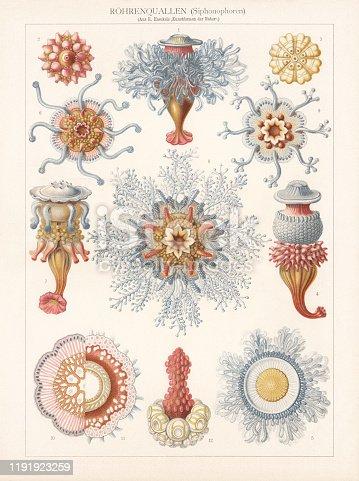 Siphonophorae: 1 - 4) Porpema medusa; 5) Porpalia prunella; 6 - 7) Discalia medusina; 8 - 12) Disconalia gastroblasta. Chromolithograph, published in 1900.