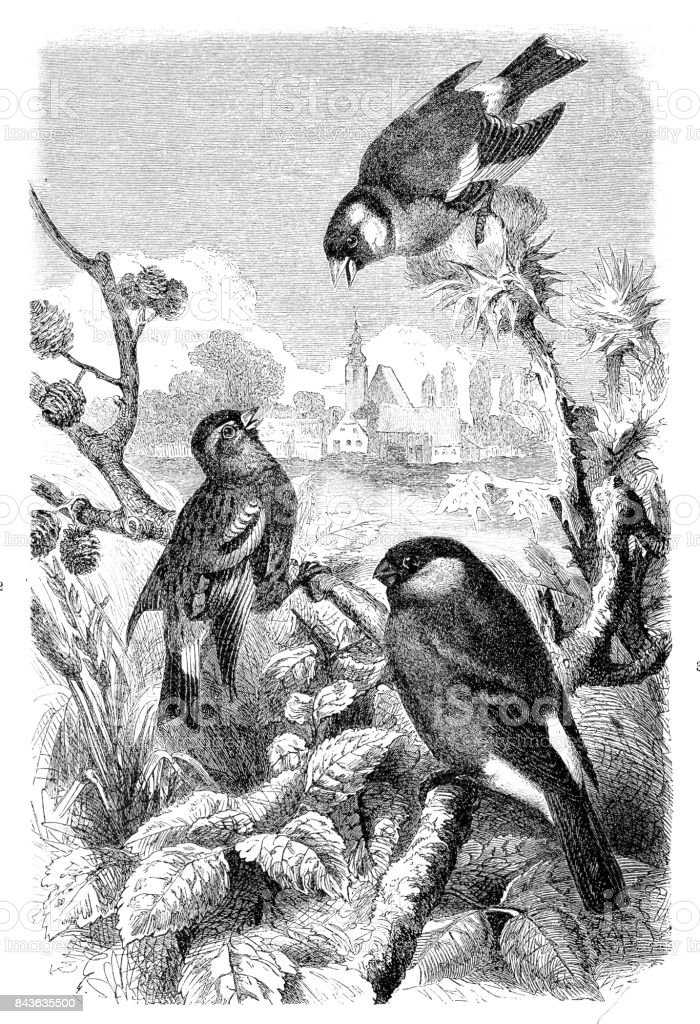 Dom-fafe, Lugre e Pintassilgo - ilustração de arte em vetor