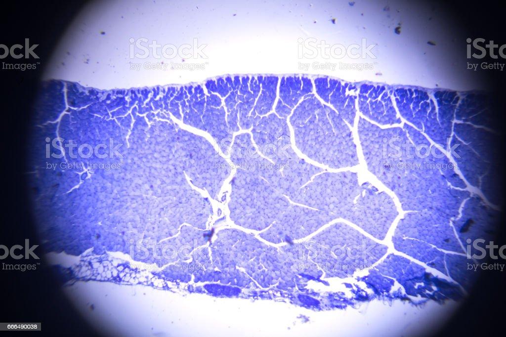 Ilustración de Sección De Músculo Esquelético En Microscopia y más ...