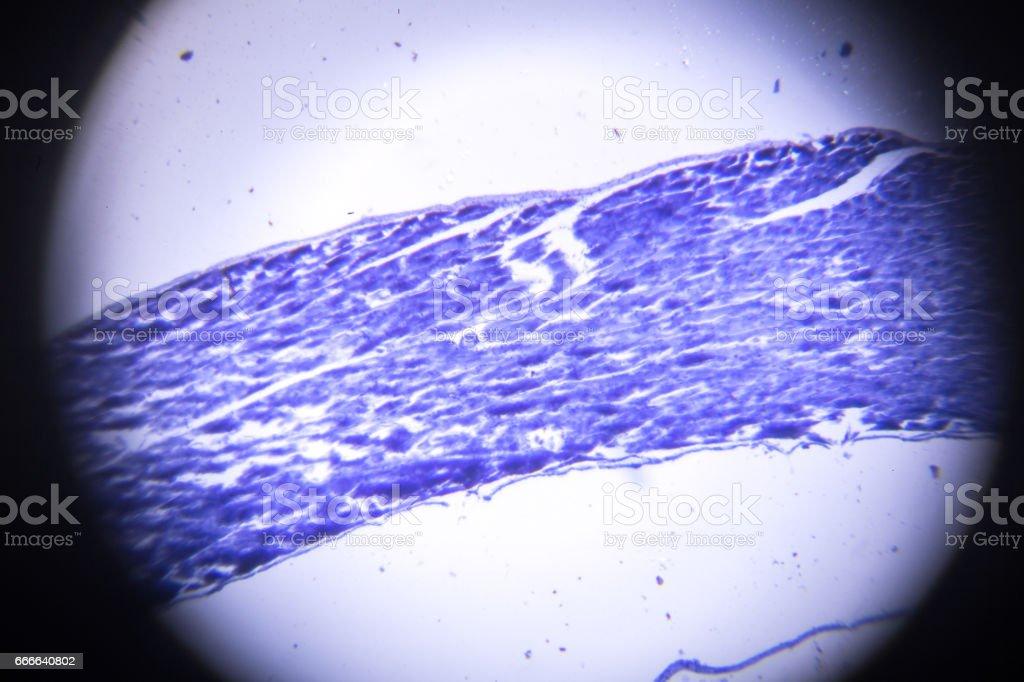 skeletal muscle longitudinal section in microscopy vector art illustration