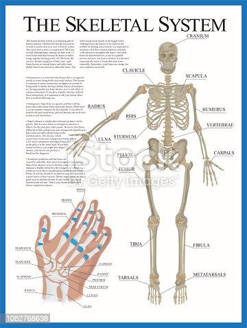 istock Skeletal Poster 1052768638