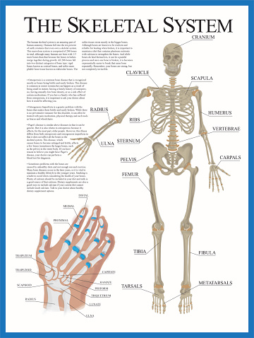 Human skeletal system poster containing detailed information about the skeletal structure. The poster contains a detailed illustration of the human hand.