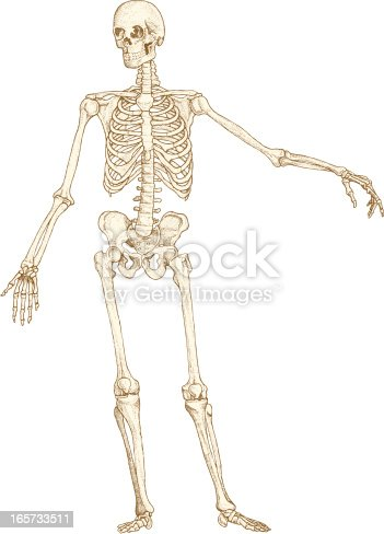 istock Skeleton drawing 165733511