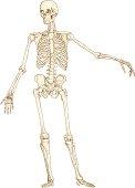 istock Skeleton drawing 165733511