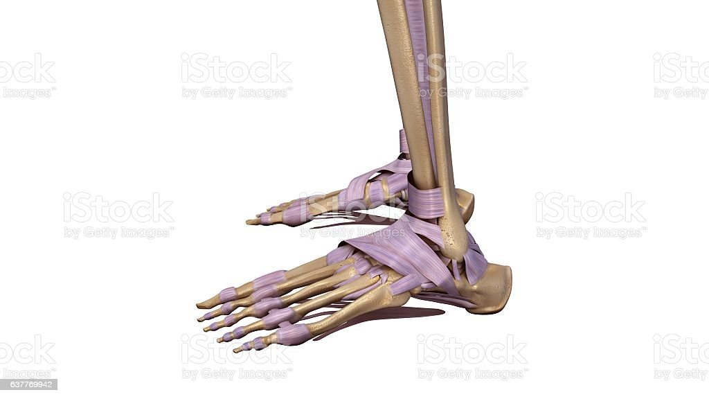 Skeleton Foot With Ligaments Stock Vector Art More Images Of