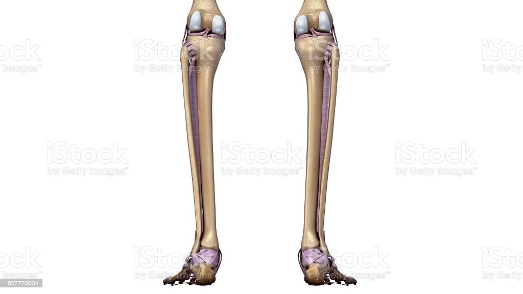 Skeleton Legs With Ligaments Back Stock Vector Art More Images Of