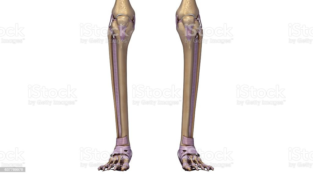 Skeleton Legs With Ligaments Stock Vector Art More Images Of