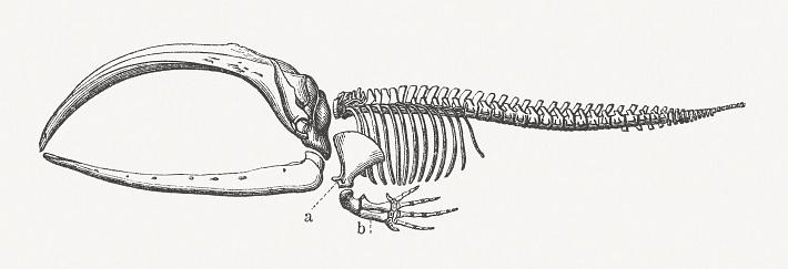 Esqueleto de una ballena boreales, grabado en madera, publicado en 1897