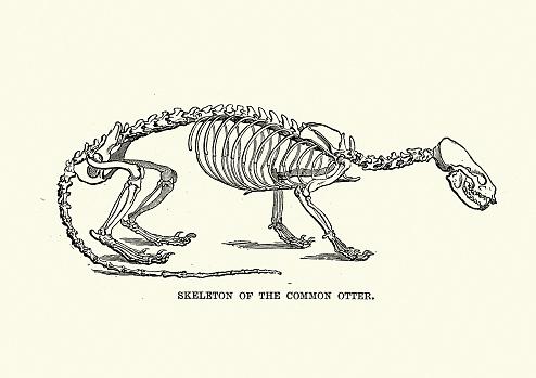 Skeleton of a Eurasian otter (Lutra lutra)