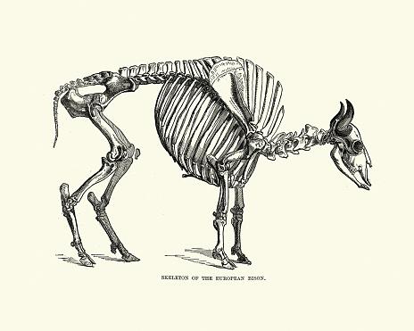 Esqueleto de un bisonte europeo (Bison bonasus)