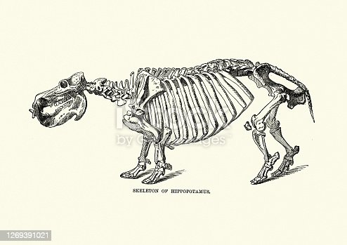Vintage illustration of Skeleton of a Hippopotamus