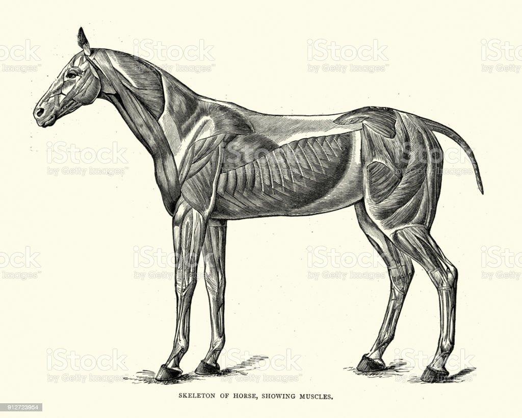 Ilustración de Esqueleto De Un Caballo Mostrando Los Músculos y más ...