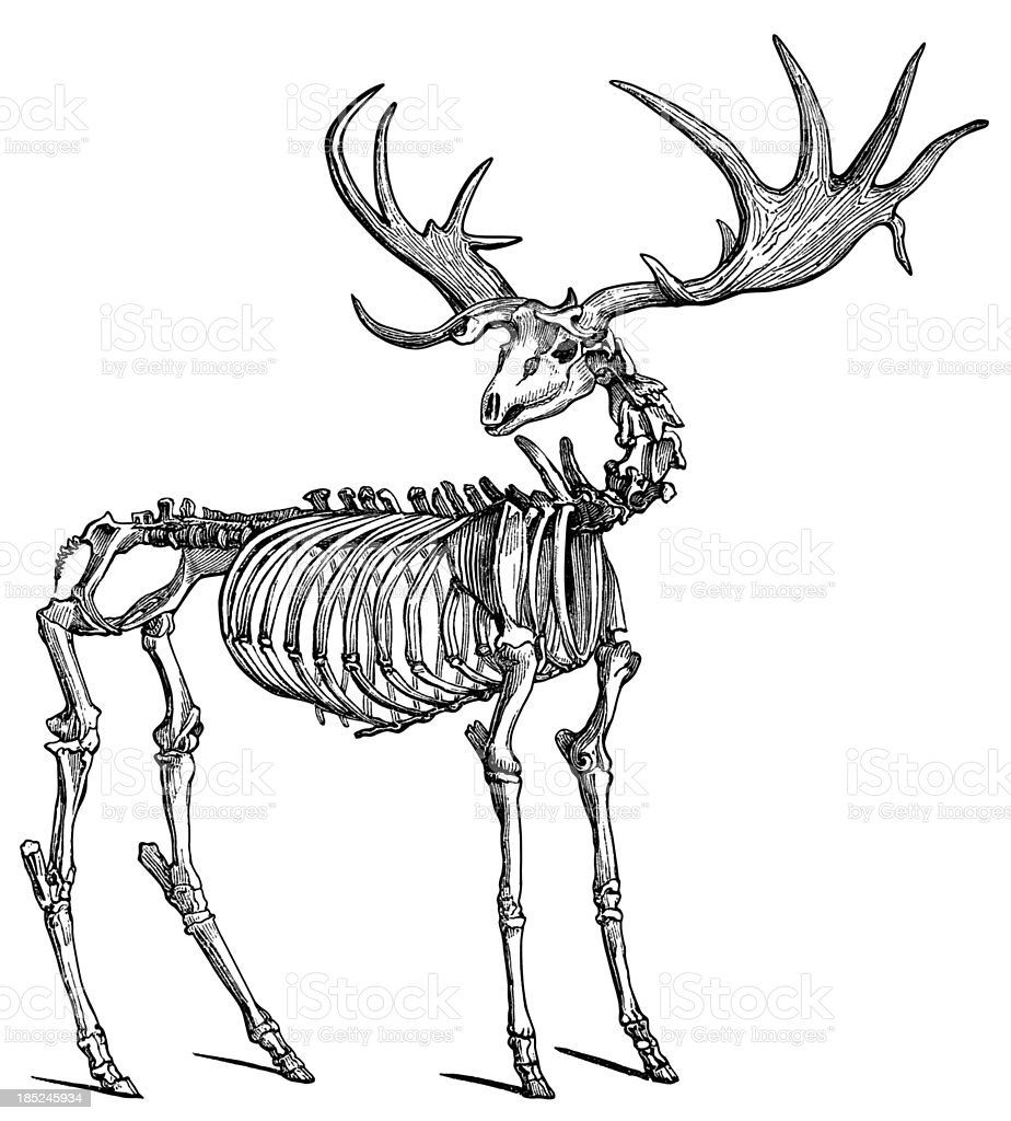 Skeleton of Elk royalty-free stock vector art