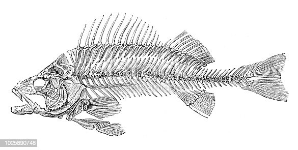 Skeleton of fish bass Original edition from my own archives Source : Illustriertes Konversations Lexikon 1875