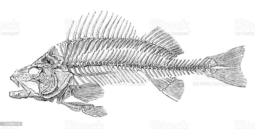 Skeleton of fish bass perch 1875 vector art illustration