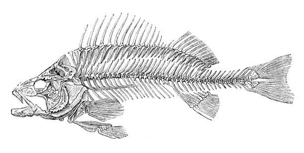 skeleton of fish bass perch 1875 - animal bone stock illustrations