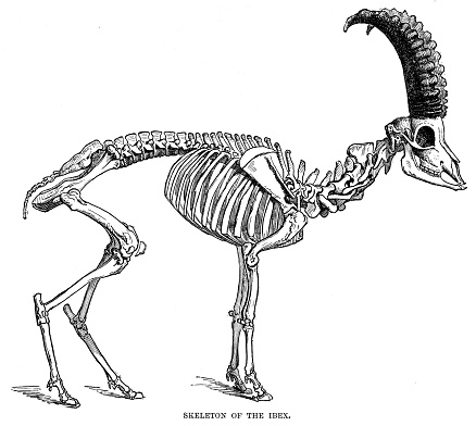 Esqueleto del grabado de la cabra montés 1896