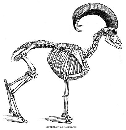 Skeleton of Mouflon engraving 1896