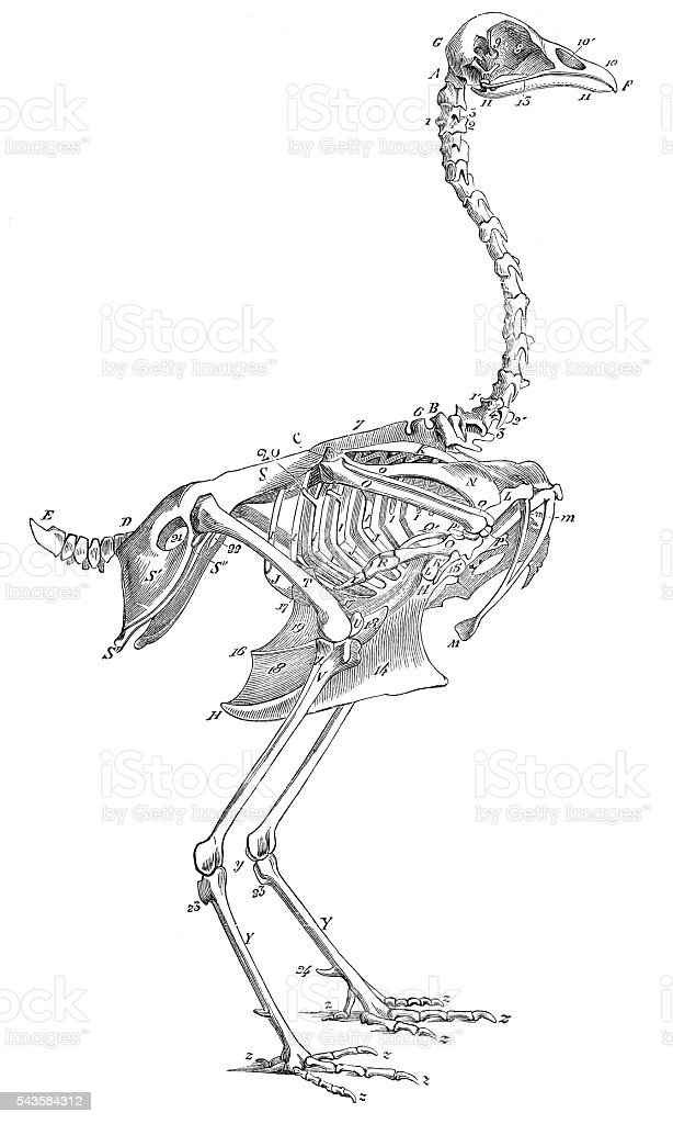 Skeleton of rooster cock engraving 1880 vector art illustration