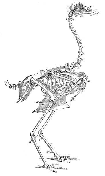 Skeleton of rooster cock engraving 1880 vector art illustration