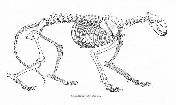 Skeleton of tiger engraving 1894d The Royal Natural History by Richard Lydekker  cat skeleton stock illustrations
