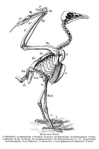 Esqueleto de ilustración de aves buitre
